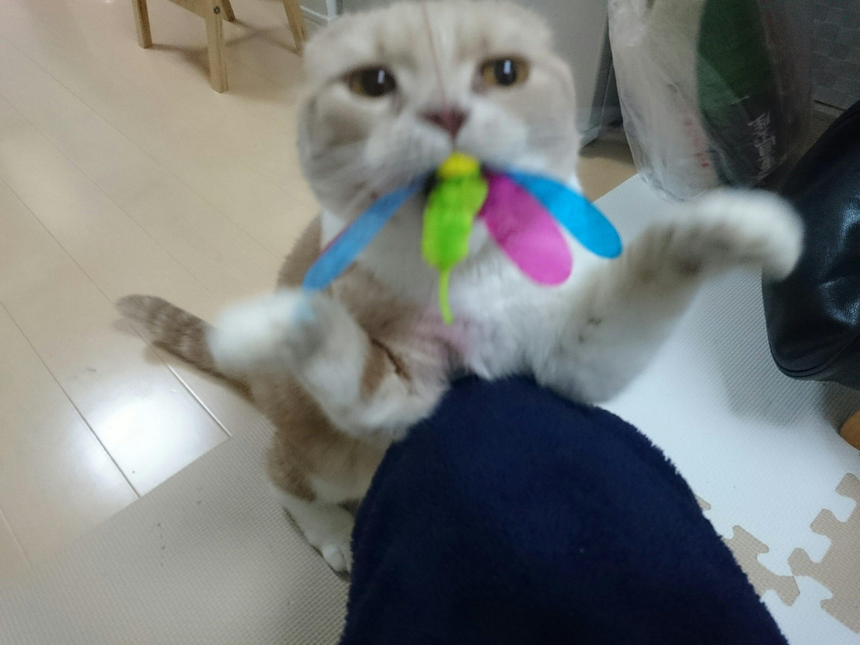 カシャぶんで遊ぶうちのネコ